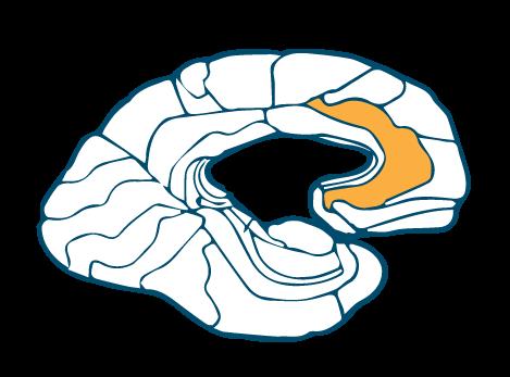 Anterior-Cingulate-Gyrus-Left-32