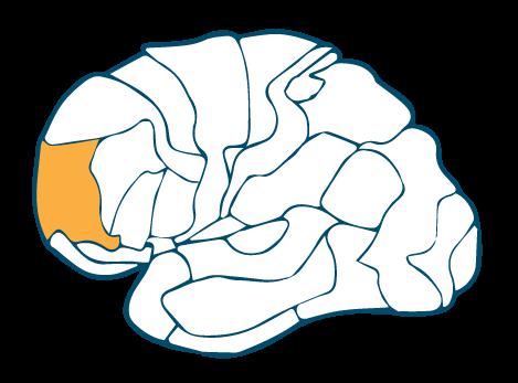 Prefrontal-Cortex-Left