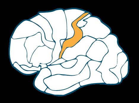 Somatosensory-Cortex-BA-1-Left