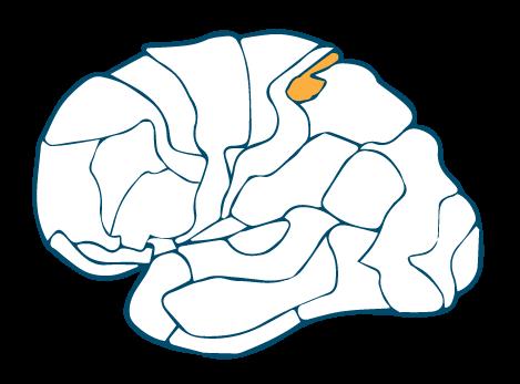 Somatosensory-Cortex-BA-5-Left
