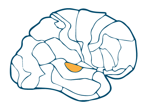 Temporal-–-Primary-Auditory-Cortex-BA-41-Right